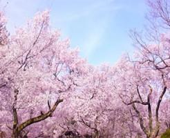 桜 開花予想 2016