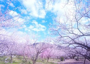 桜 花言葉 意味